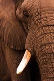 Haut étroit d'éléphant Images libres de droits