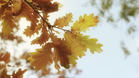 Haut étroit d'automne de feuilles vibrantes d'arbre Photos stock