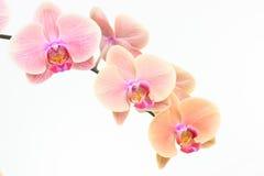 Haut étroit d'orchidées de mite de pêche photographie stock libre de droits