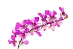 Haut étroit d'orchidées pourpres de Phalaenopsis Image libre de droits