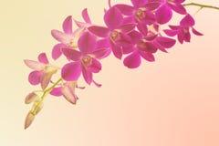 Haut étroit d'orchidées pourpres de Phalaenopsis Photos stock