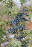 Haut étroit de baies bleues sauvages de genévrier Photographie stock libre de droits