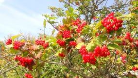 Haut étroit de baies rouges d'arbre de Snowball clips vidéos