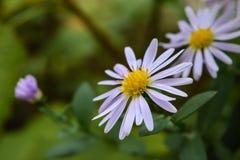 Haut étroit de belles fleurs pourpres photographie stock libre de droits