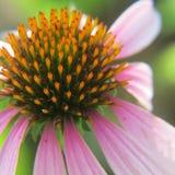 Haut étroit de cône de vue pourpre de la fleur 3/4 Photos libres de droits