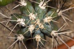 Haut étroit de cactus Photos libres de droits