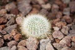 Haut étroit de cactus Photos stock