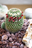 Haut étroit de cactus Photo libre de droits