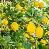 Haut étroit de citrons espagnols Photo stock
