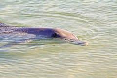 Haut étroit de dauphin Photographie stock libre de droits