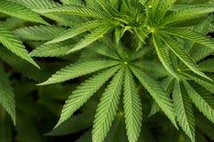 Haut étroit de feuilles de cannabis photos stock
