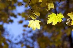 Haut étroit de feuilles d'érable Photo stock