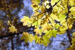 Haut étroit de feuilles d'érable Image stock
