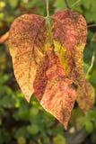 Haut étroit de feuilles de chute Photos stock