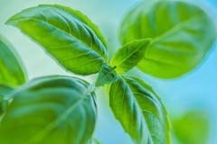 Haut étroit de feuilles fraîches de basilic Image stock