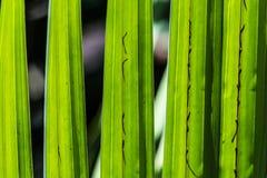 Haut étroit de feuilles vertes de noix de coco Images stock