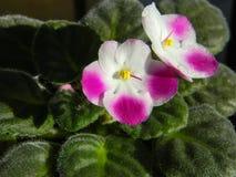 Haut étroit de fleurs blanches et roses de saintpaulia Photos libres de droits