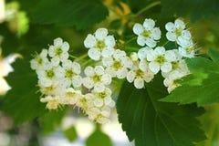 Haut étroit de fleurs d'aubépine Photographie stock libre de droits