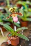 Haut étroit de fleurs d'orchidée de Paphiopedilum Images stock