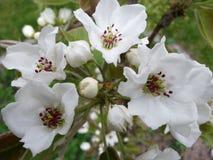 Haut étroit de fleurs de cerisier blanches Image libre de droits