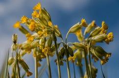 Haut étroit de fleurs de primevère Photo stock