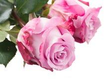 Haut étroit de fleurs de Rose Photographie stock