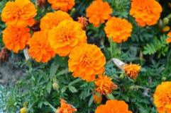 Haut étroit de fleurs oranges de souci Images stock
