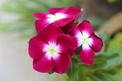 Haut étroit de fleurs roses image libre de droits