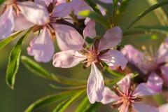 Haut étroit de fleurs roses d'amande Photographie stock libre de droits