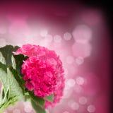 Haut étroit de fleurs roses de hortensia Photographie stock