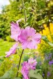 Haut étroit de fleurs roses de rose trémière Images stock