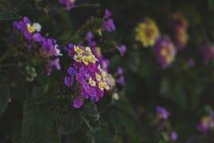 haut étroit de fleurs thickberry images libres de droits