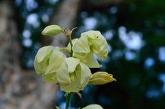 Haut étroit de fleurs de yucca Photographie stock libre de droits