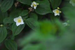 Haut étroit de floraison gentil de fleurs blanches Images libres de droits