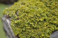 Haut étroit de lichen (espèces de Xanthoria ) Images stock