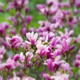 Haut étroit de magnolia de fleurs roses d'arbre Images libres de droits