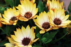 Haut étroit de marguerites jaunes Photo libre de droits