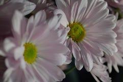 Haut étroit de marguerites roses Images stock