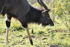 Haut étroit de Nyala Images libres de droits
