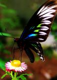 Haut étroit de papillon Photos libres de droits