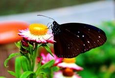 Haut étroit de papillon Photo libre de droits