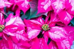 Haut étroit de poinsettias roses Photographie stock