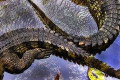 Haut étroit de queues de crocodiles Images stock