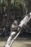 Haut étroit de singe, Indonésie Photographie stock