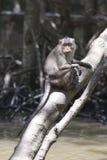 Haut étroit de singe, Indonésie Photo stock