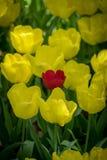 Haut étroit de tulipes jaunes photographie stock libre de droits