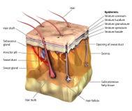 Haut 3D stock abbildung