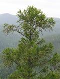 Haut arbre de mélèze Image libre de droits