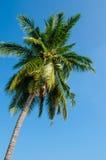 Haut arbre de noix de coco Photos libres de droits