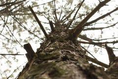 Haut arbre de pin photos libres de droits